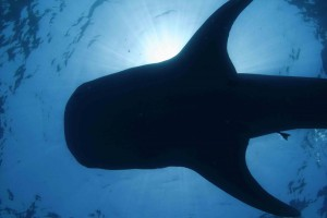 Whale shark viewed from below (Dave Witting/NOAA Fisheries)