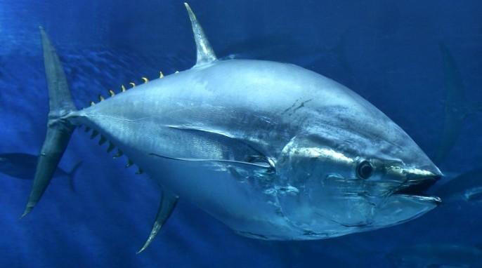 Bluefin Tuna at the Hopkins Marine Station, Monterey Bay Aquarium in California (©Monterey Bay Aquarium/Randy Wilder)