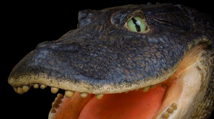 Prehistoric Crocodile: Life reconstruction of the head of Gnatusuchus pebasensis, a 13-million-year-old, short-faced crocodile with rounded teeth that was thought to use its snout to dig for clams and other mollusks. Model by Kevin Montalbán-Rivera. (© Aldo Benites-Palomino)