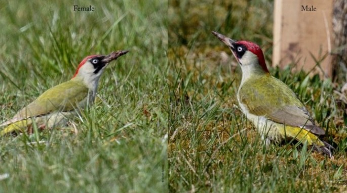 Male and female European green woodpeckers (Steven Spence)