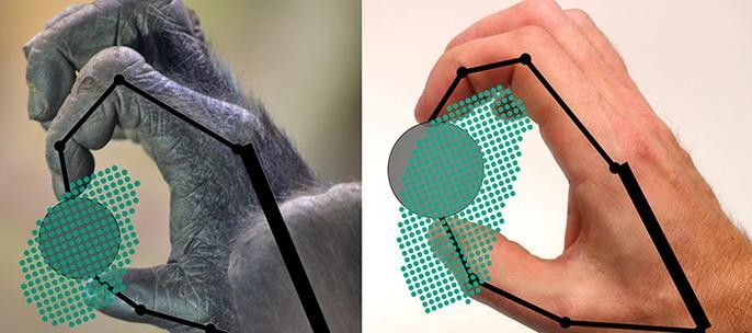 This figure shows how a gorilla and a human to grip and move an object. The dots indicate positions in which the object can be gripped. (Yale University)