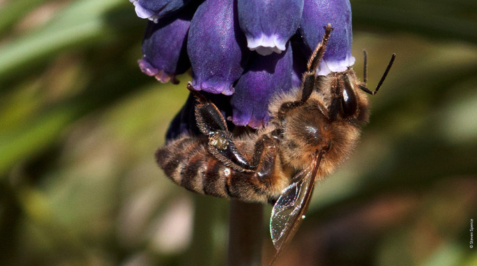 Declining bee populations: A honeybee drinking nectar, its reward for pollinating the flower