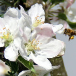 Declining bee populations: A healthy honeybee visiting a backyard apple tree