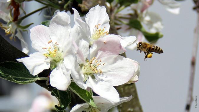 Declining bee populations: A healthy honeybee visiting a backyard apple tree