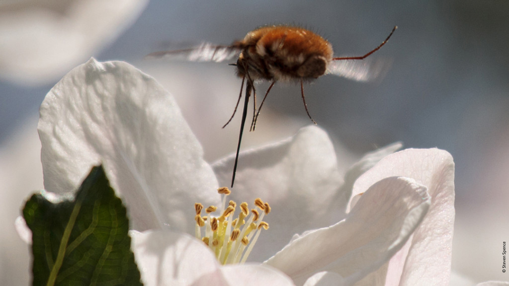 Pollination: wild bee pollinating an apple blossom