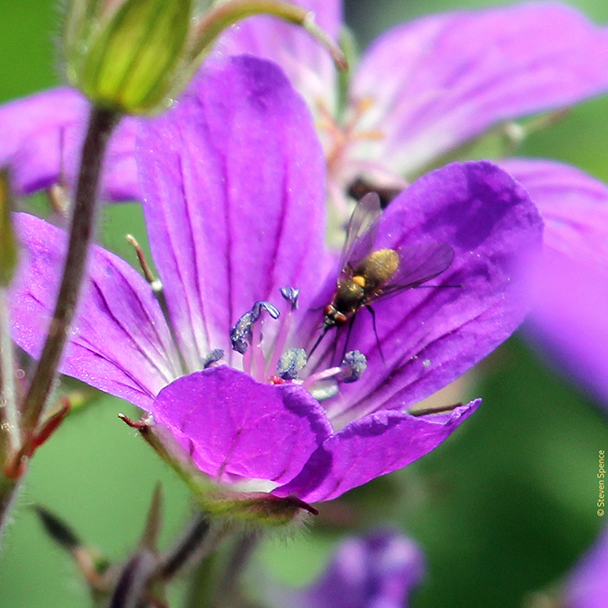 Pollination: fly pollinating a wildflower