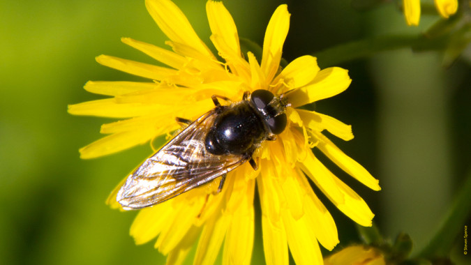 Declining bee populations: Will we rely on flies instead of bees in the future?