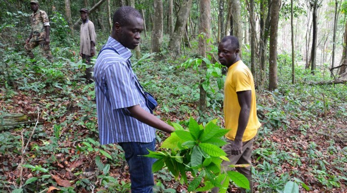 Endangered Primates: Researcher Gonedele Sere (left) holds a cocoa plant found at an illegal farm in the Dassioko Forest Reserve in Ivory Coast (Photo by W. Scott McGraw, Courtesy of Ohio State University)