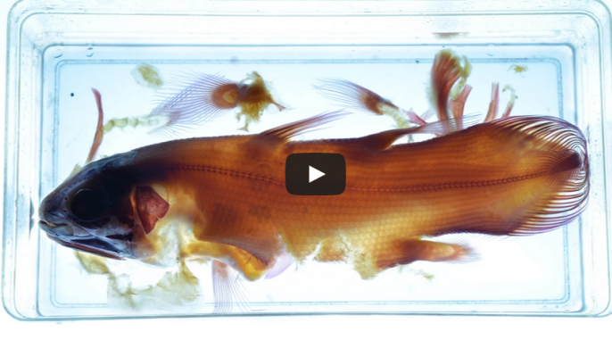 Coelacanth, Shelf Life Episode 3, American Museum of Natural History Video
