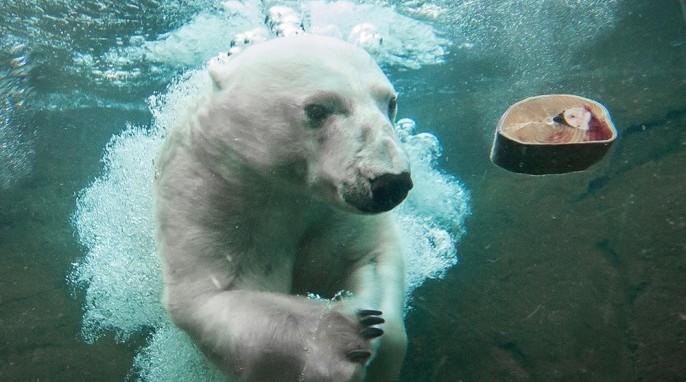 Polar Bears: Tasul the polar bear (Oregon Zoo)