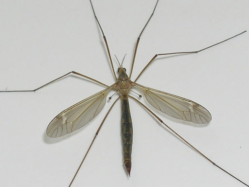 Crane fly, or mosquito eater (Pinzo via Wikimedia Commons))