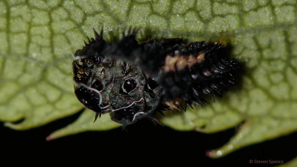 Ladybirds: Ladybird larvae must molt to grow.