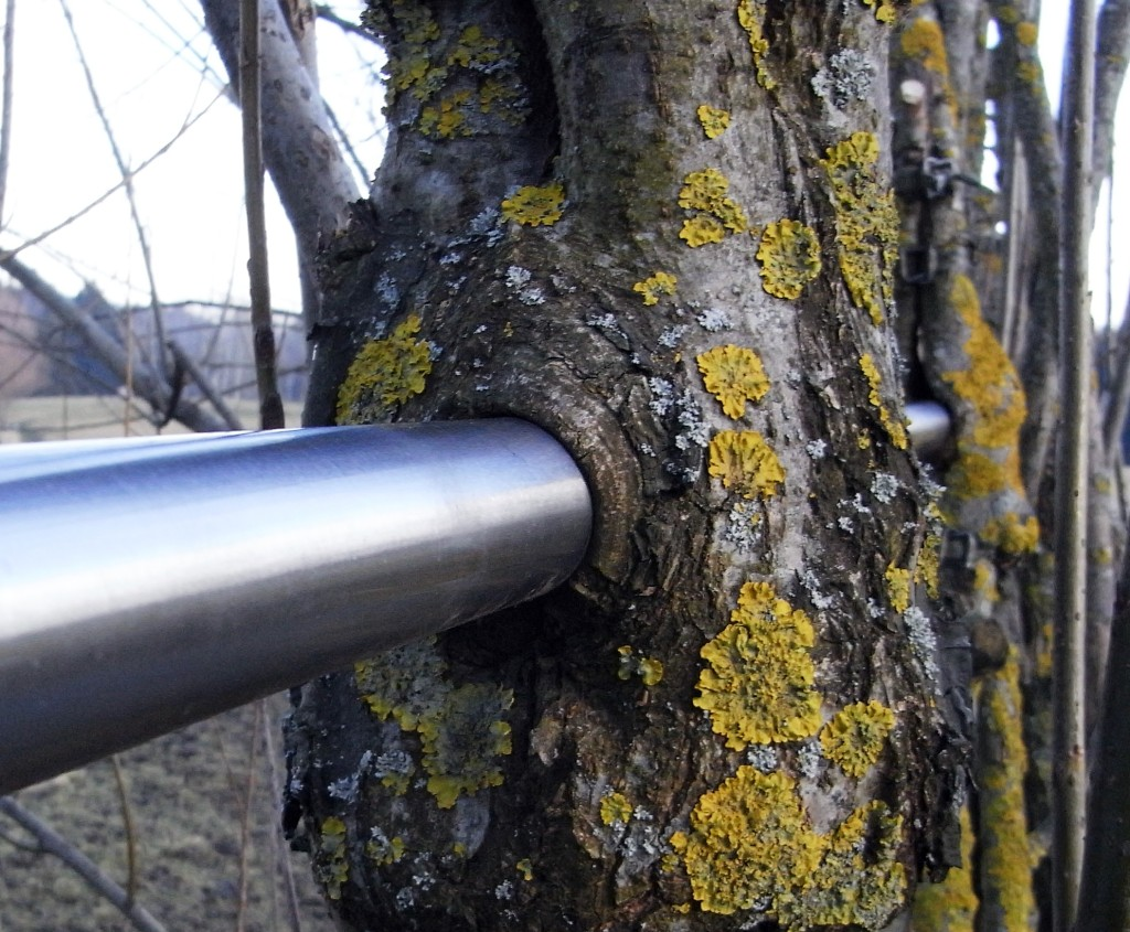 Incorporating metal into arborsculpture, or tree-shaping (Copyright Ludwig)