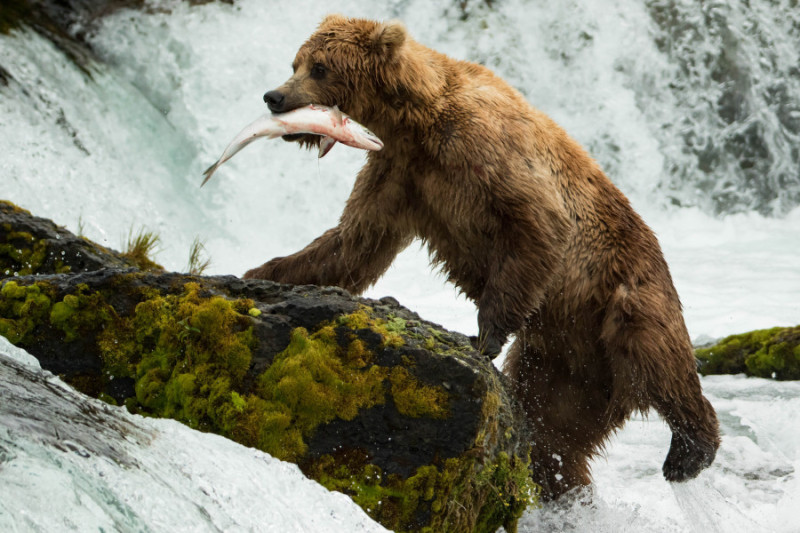 best place to see grizzly bears in Alaska