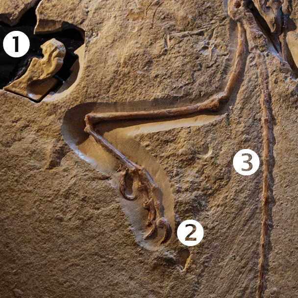 """Detail of the London Archaeopteryx specimen showing: #1 braincase, #2 """"killing toe"""" and #3 bony tail"""