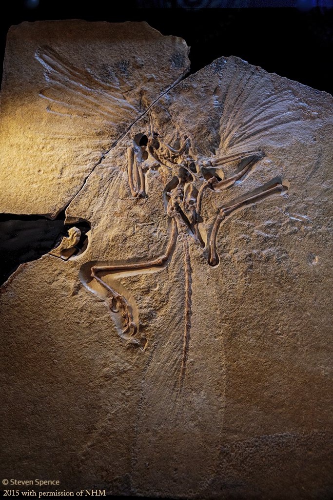London specimen of Archaeopteryx (photographed with permission from the Natural History Museum)