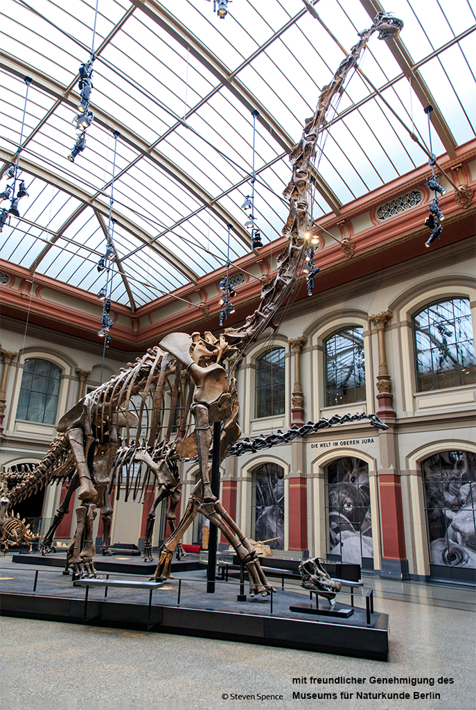 Berlin Mounted Dinosaur Skeleton: The huge mounted Giraffatitan in the main hall in Berlin, dwarfing the Diplodocus that stands behind it. (Photo by Steven Spence)