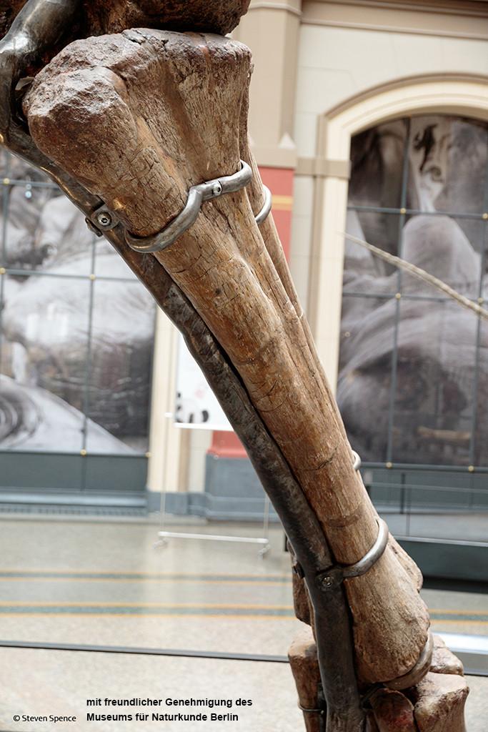 Berlin Dinosaur Skeleton Mount: Part of the forearm showing the two pieces of the metal cradle that hold the bone to the supporting armature. The bone has been repaired with a light-coloured streak of material on the upper left part. (Photo by Steven Spence)