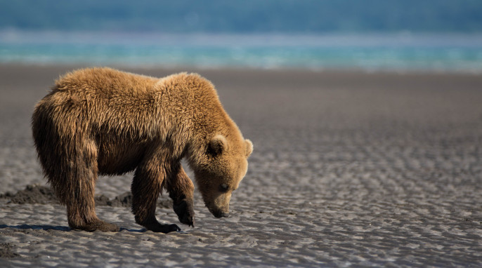 Wild Alaskan Grizzly Bears, photographed by Max Goldberg