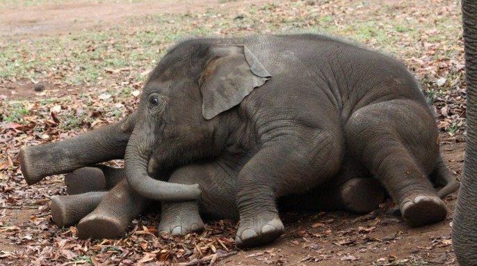Photos of baby elephants resting and playing provided by the University of Sheffield