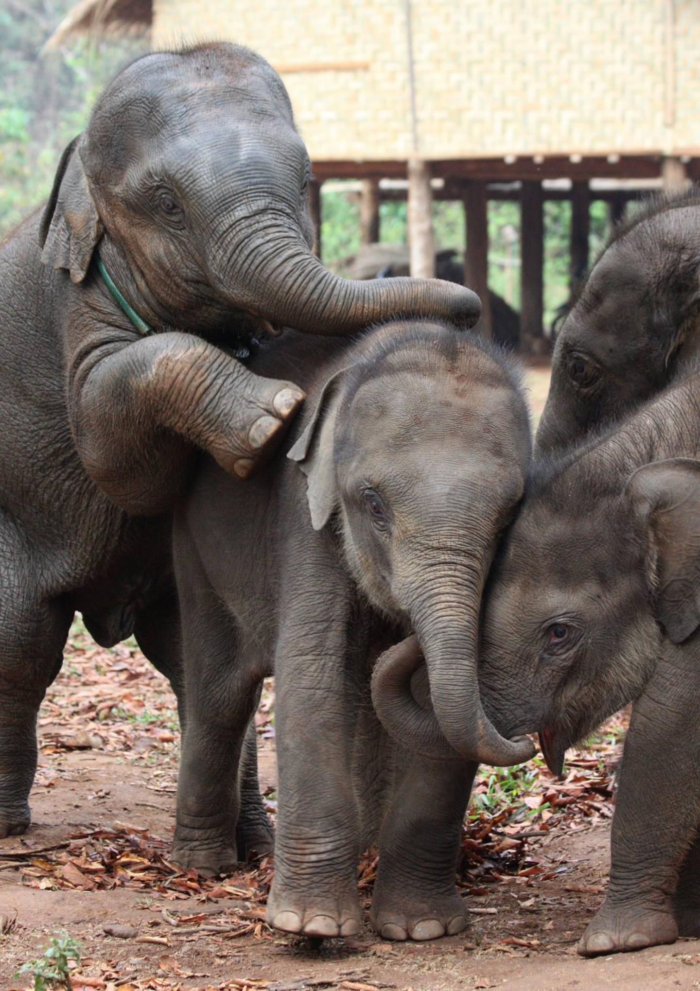 Baby elephtants playing