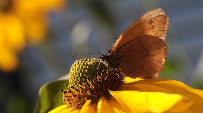 Butterflies: A worn butterfly enjoys refreshment in a garden. tentative identification: Meadow Brown; German Ochsenauge; Latin Maniola jurtina
