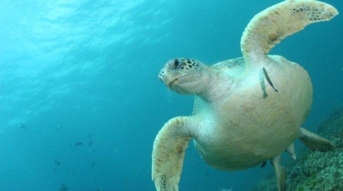 Green sea turtles swimming near North Stradbroke Island, Australia (Photos by Kathy Townsend)