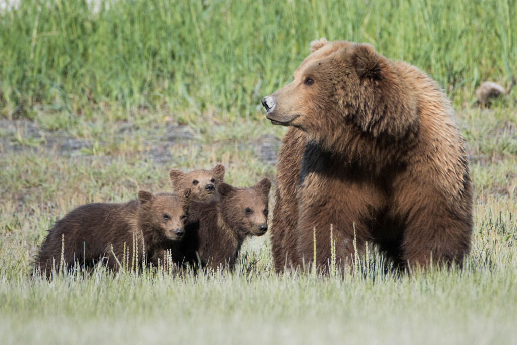 Photographer in Alaska: Wild Grizzly Bear Fight