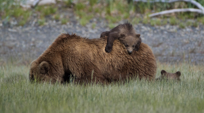 Photographer in Alaska: Grizzly Bear Fight