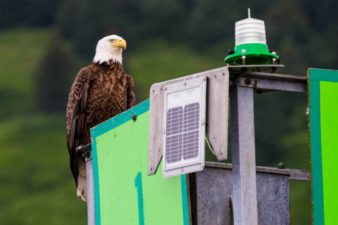 Bald Eagles, Kodiak Alaska