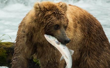 Grizzly Bears, Salmon, Alaska