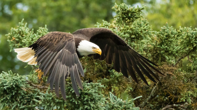 Bald Eagle, Kodiak Alaska