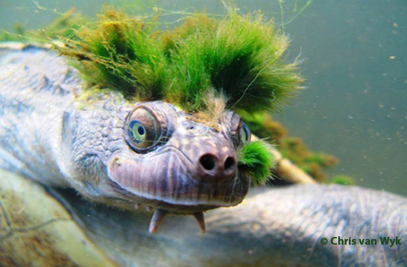Mary River Turtle