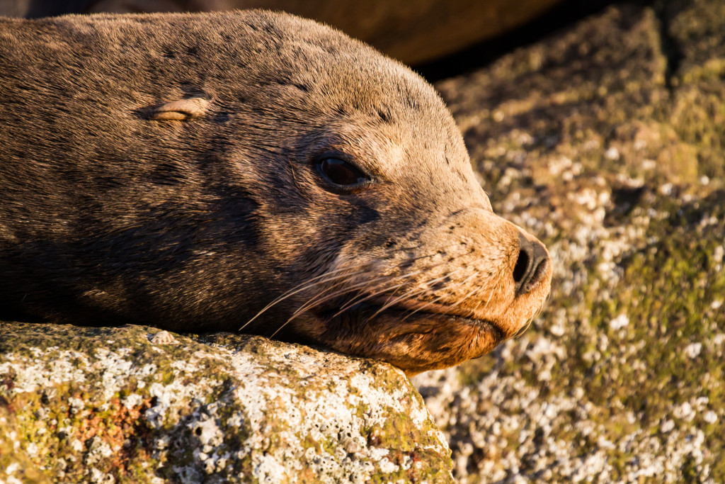 California sea lion in Baja, photographed in winter 2015
