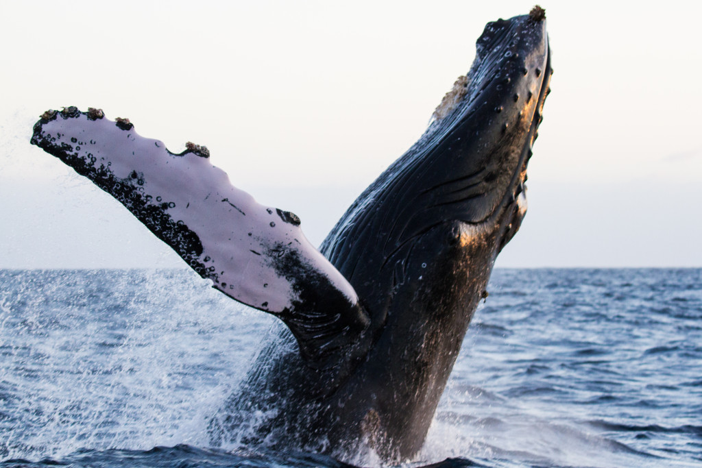 Breaching humpback whale off the coast of Baja California in the winter of 2015.