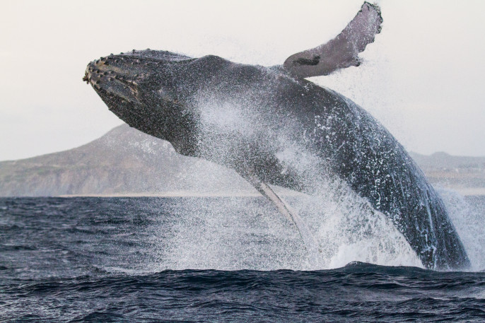 Humpback whale breaching off the coast of Baja California. Winter Break 2015-2016