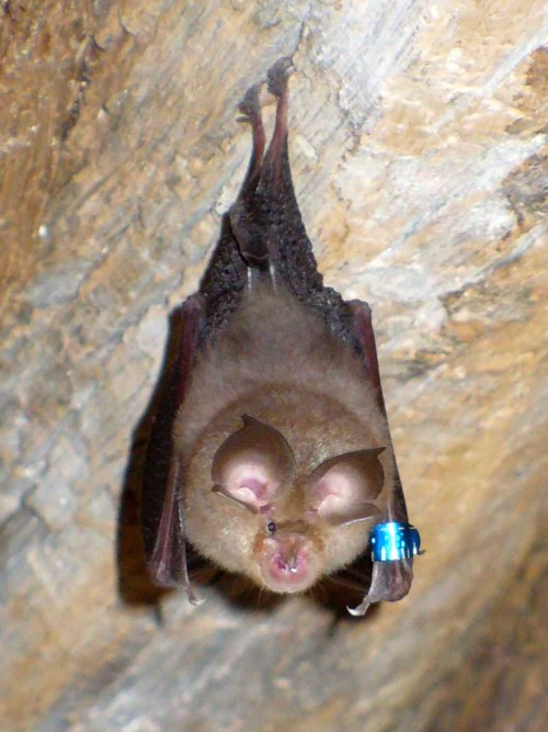 Lesser horseshoe bat. Photo credit: Lylambda via Wikimedia Commons