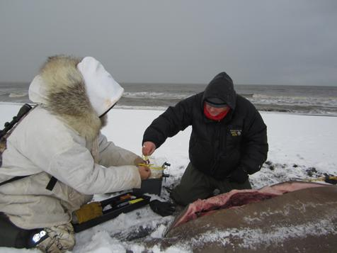 Warren Harding Lampe, left, and Raphaela Stimmelmayr of the North Slope Borough Department of Wildlife Management collect tissue sample from a walrus at Point Lay, Alaska. Walrus were among the Alaska marine mammals that showed exposure to harmful algal toxins. Photo credit: Anna Bryan, Alaska Department of Fish and Game