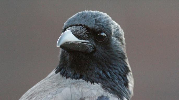 big, beautiful bird brains