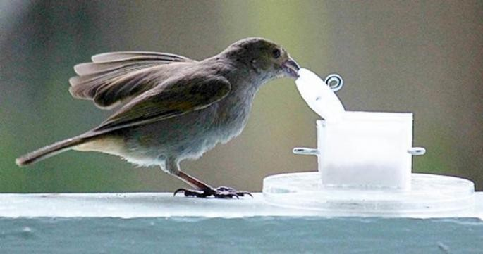 Bullfinches in Urban Birds: Barbados. Louis Lefebvre