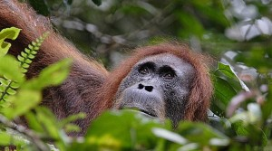 Sumatran orangutans may be at high risk of contracting coronavirus.