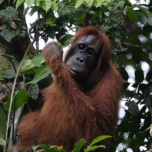 The Sumatran orangutans are threatened by the loss of their natural habitats. Perry van Duijnhoven