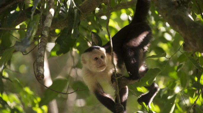 North American Monkeys: Cebus capucinus. Photo by Sean Mattson, STRI