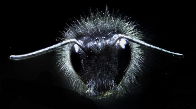 Bumblebees: A bumblebee covered in tiny body hairs. University of Bristol