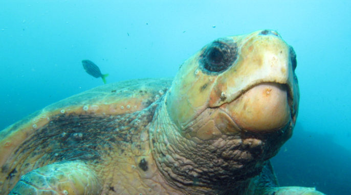 Sea Turtles: Josephine the Loggerhead Turtle (Caretta caretta). Fish Rock Cave, South West Rocks, NSW. Photo by Richard Ling.