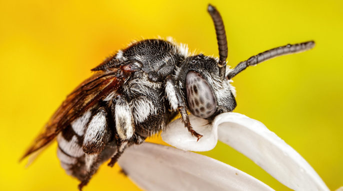 parasitic bees