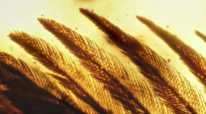 ancient bird wing preserved in amber