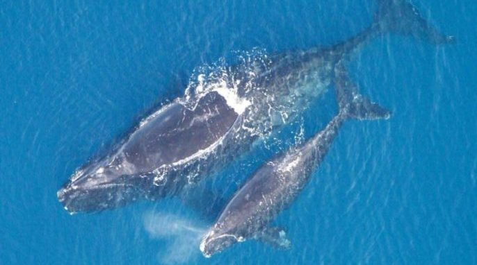 Old Threats Cause New Harm to Endangered Right Whales