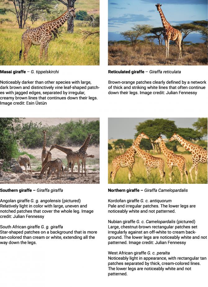 DNA Analysis Reveals Four Distinct Giraffe Species