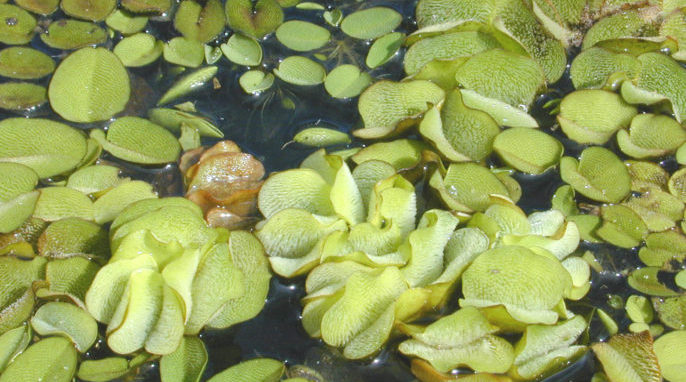 Water Weeds May Clean Up Oil Spills